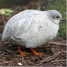 For sale a quail weighs half a kilo